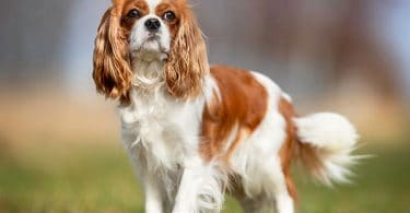 Best Dog Bed for Cavalier King Charles