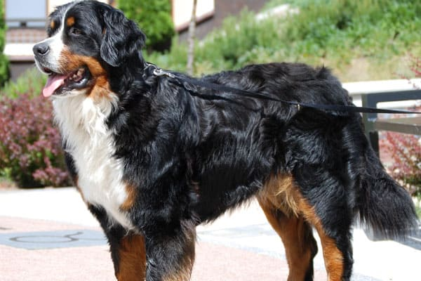 Best Dog Beds for Bernese Mountain Dogs